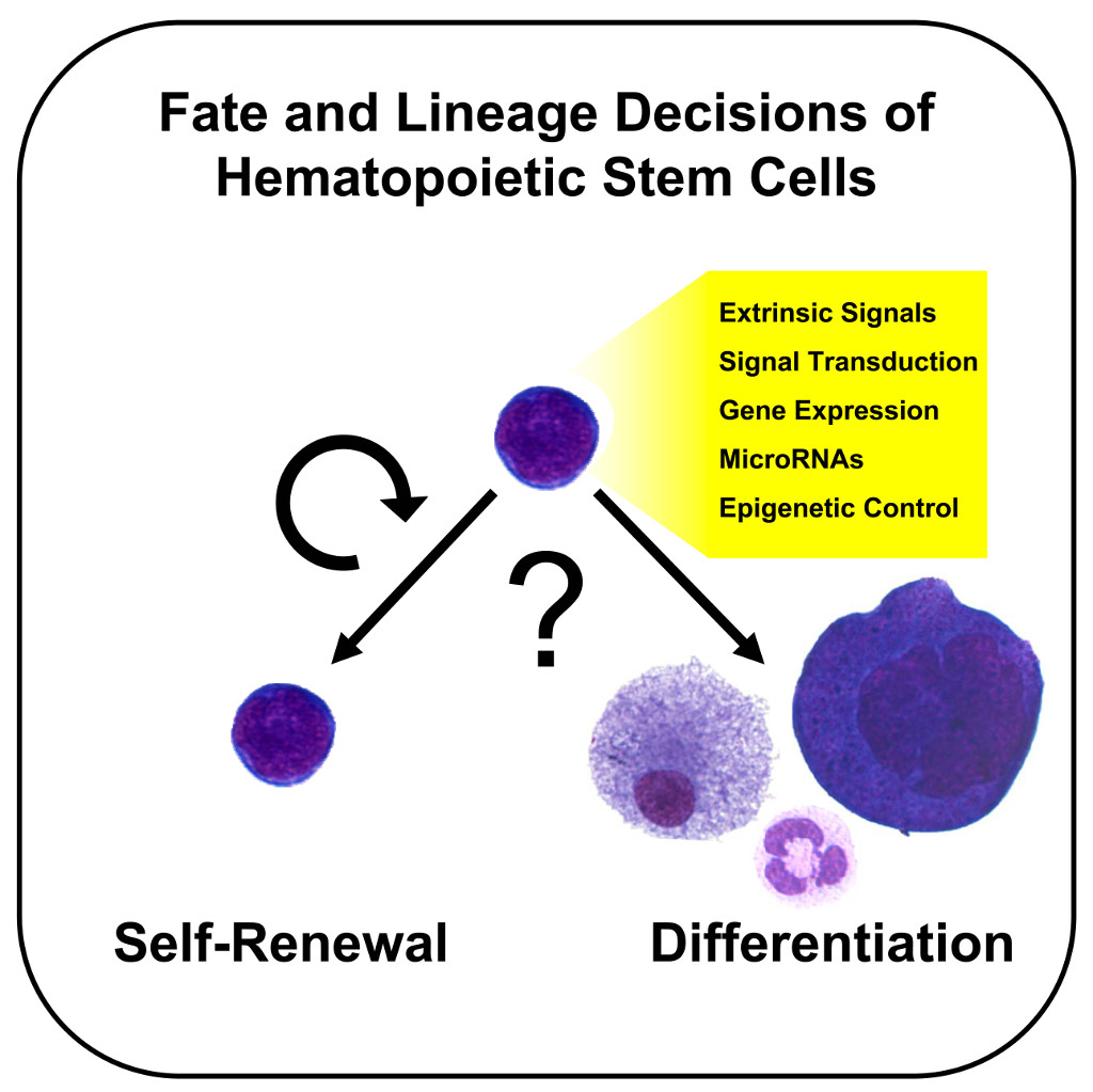Tentative thesis on stem cell research